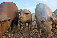 Piglet among pigs at Sheepdrove Organic Farm, Lambourn, England  where Camborough sows are kept with Duroc boars.