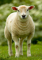 Lambs. Texel.