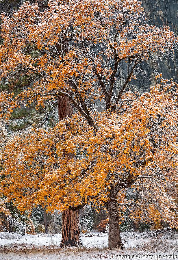 Yosemite National Park, CA: Black oaks (Quercus kelloggii) and ponderosa pine (Pinus ponderosa) of El Capitan Meadow with lingering fall color and a dusting of snow, Yosemite Valley