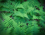 5.28.12 - Blanket of Ferns...