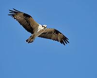 Osprey in flight, Inks Lake Fish Hatchery, Texas