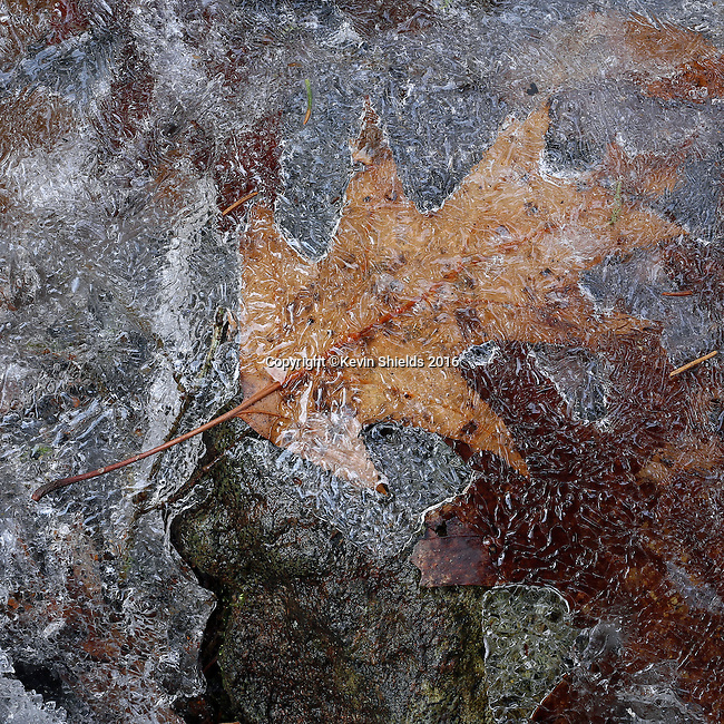Ice melting on an oak leaf at Winter's end, Camden Hills State Park, Maine, USA.