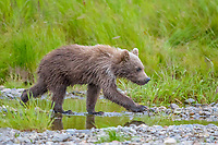 Alaska Peninsula brown bear, grizzly bear, Ursus arctos horribilis, cub, Katmai National Park and Preserve, Alaska, USA
