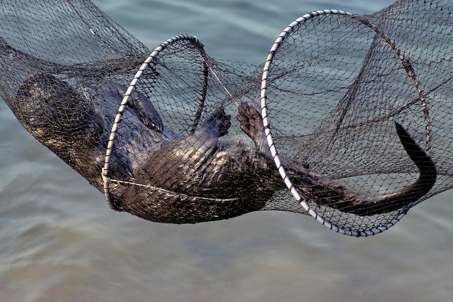 Otter (Lutra lutra), verdronken in fuik