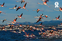 Group of greater Flamingoes (Phoenicopterus roseus) taking flight (Licence this image exclusively with Getty: http://www.gettyimages.com/detail/200555826-001 )