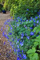 Blue flowering geranium 'Johnson's Blue' by gravel path in Gary Ratway garden