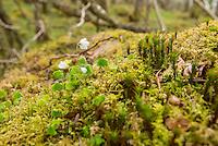 Carnach Woodland Wanderweg (Carnach Woodland Trail) nahe der Ortschaften Milltown und Applecross.<br /> Der Wanderweg fuehrt durch ein Gebiet der vor ca. 4.000 Jahren als mystischer Ort galt und von zahlreichen unterirdischen Energielinien durchzogen ist.<br /> Im Bild: Klee auf einem mit Moos ueberwachsenen Felsen.<br /> 23.5.2015, Highlands/Schottland<br /> Copyright: Christian-Ditsch.de<br /> [Inhaltsveraendernde Manipulation des Fotos nur nach ausdruecklicher Genehmigung des Fotografen. Vereinbarungen ueber Abtretung von Persoenlichkeitsrechten/Model Release der abgebildeten Person/Personen liegen nicht vor. NO MODEL RELEASE! Nur fuer Redaktionelle Zwecke. Don't publish without copyright Christian-Ditsch.de, Veroeffentlichung nur mit Fotografennennung, sowie gegen Honorar, MwSt. und Beleg. Konto: I N G - D i B a, IBAN DE58500105175400192269, BIC INGDDEFFXXX, Kontakt: post@christian-ditsch.de<br /> Bei der Bearbeitung der Dateiinformationen darf die Urheberkennzeichnung in den EXIF- und  IPTC-Daten nicht entfernt werden, diese sind in digitalen Medien nach &sect;95c UrhG rechtlich geschuetzt. Der Urhebervermerk wird gemaess &sect;13 UrhG verlangt.]