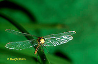 1O05-041z  Skimmer Dragonfly flying - Ruby Meadowhawk Male - Sympetrum rubicundulum