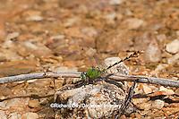 06468-001.06 Westfall's Snaketail (Ophiogomphus westfalli) male in stream,  Crawford Co., MO