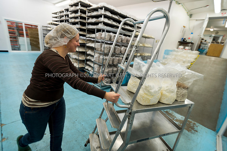 3/22/2013--Shelton, WA, USA..Nancy Katie, an employee at Fungi Perfecti, works in the production facilities at the mushroom farm in Shelton, WASH., south of Seattle...Paul Stamets, 57, is an American mycologist, author, and advocate of bioremediation and medicinal mushrooms and owner of Fungi Perfecti, a family run business that specializes in making gourmet and medicinal mushrooms...©2013 Stuart Isett. All rights reserved.