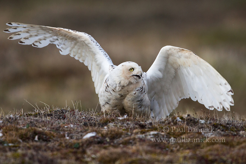 A female Snowy Owl prepares to leap up, and turn herself upside down to defend herself from an attacking Pomerine Jaeger.
