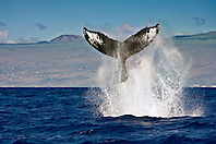 humpback whale, Megaptera novaeangliae, displaying peduncle throw or tail breach, Hawaii, USA, Pacific Ocean