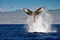 humpback whale, Megaptera novaeangliae, displaying peduncle throw or tail breach, Hawaii, USA, Pacific Ocean
