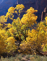 Zion National Park, UT<br /> A grove of fall colored cottonwood trees backlit by the sun in Zion Canyon