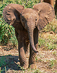 African elephant calf, Samburu National Reserve, Kenya