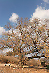 Israel, the Lower Galilee. Mount Tabor Oak tree (qyercus ithaburensis) in Beth Keshet<br />
