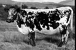 Big Bertha the world's oldest cow at 44 years pictured in 1992 pregnant with her last of 39 calves..<br /> Picture by Don MacMonagle