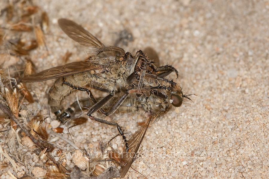 Seiden-Raubfliege, Seidenraubfliege, Raubfliege, Kopula, Paarung, Machimus arthriticus, robberfly, Breck Robberfly, robber-fly, Raubfliegen, Mordfliegen, Asilidae, robberflies, robber flies