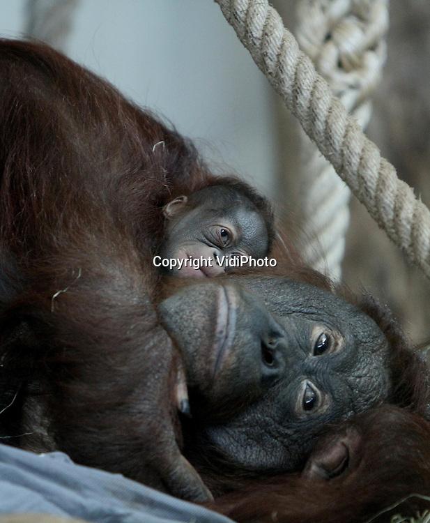 Foto: VidiPhoto..APELDOORN - Orang Oetanmoeder Wattana uit  de Apenheul in Apeldoorn is maandag bevallen van een gezonde zoon. Dat heeft het dierenpark woensdag bekend gemaakt. Het is al weer vier jaar geleden dat er in de Apenheul een jonge orang oetan geboren is. De eerste baby van Wattana moest met de hand groot gebracht worden, omdat ze ook zo zelf is opgevoed. Het is voor het eerst dat ze nu een jong groot brengt. De Apenheul gewacht met publiciteit tot het moment dat het jong werd geaccepteerd door de moeder.