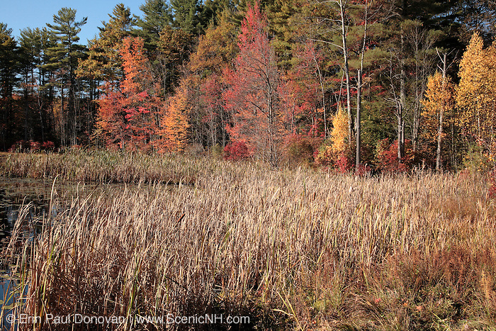 Autumn colors in a forest during the autumn months in scenic New Hampshire USA, which is part on New England