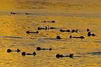 Sea Otter (Enhydra lutris) raft at sunrise, California coast.