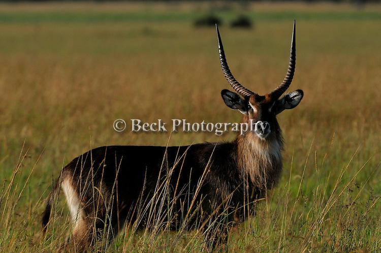 Africa  Kenya Masai Mara Common Waterbuck