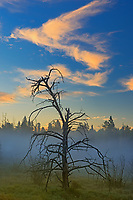 Tree at sunrise with fog at Royal Lake , Near MAnitoba - Ontario Border, Ontario, Canada