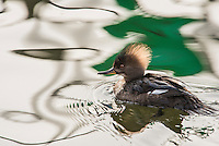 Birds: Ducks, Geese & Swans_Anseriformes