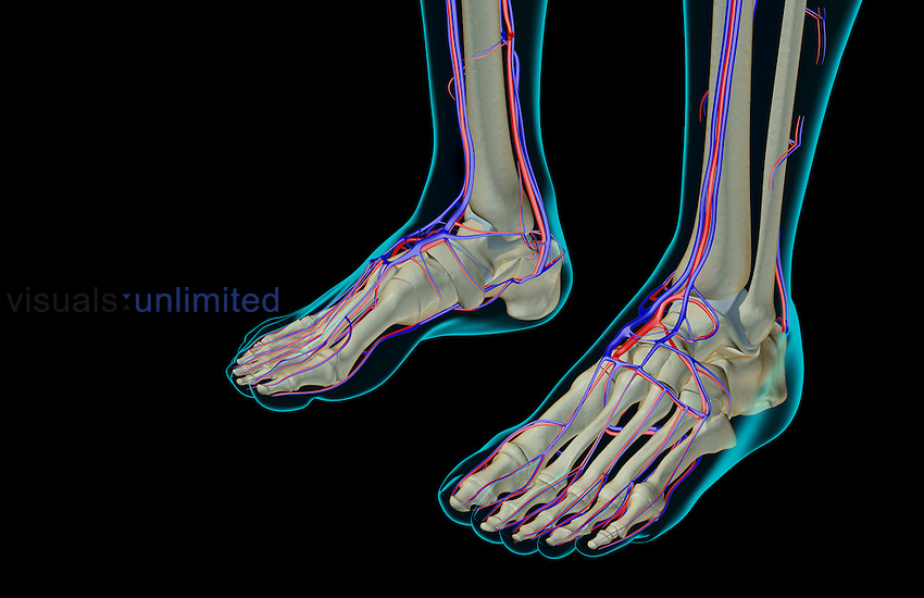 An anterolateral view (left side) of the blood supply of the feet. The surface anatomy of the body is semi-transparent and tinted turquoise. Royalty Free