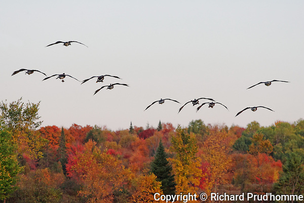 A flock of Canada Geese flying in sky above a forest in the Fall