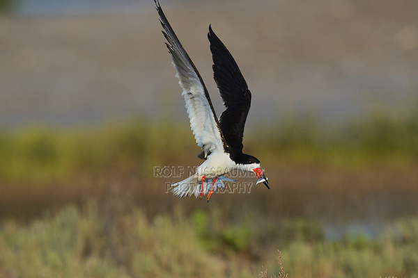 Black Skimmer (Rynchops niger), adult in flight with fish prey, Port Isabel, Laguna Madre, South Padre Island, Texas, USA