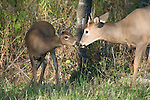 White-tailed buck(s) (Odocoileus virginianus) touching noses with a fawn