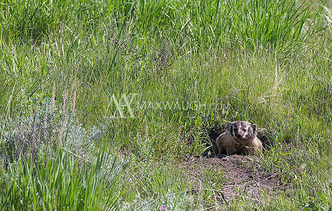 A badger I found crossing the road in the Lamar Valley.  Moments later I found another badger sett with a female and kit.