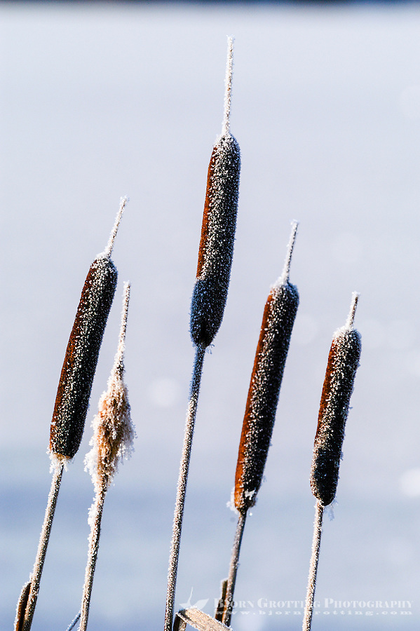 Norway, Stavanger. Bulrush on a cold winter day.