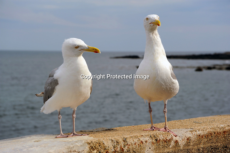 Two Seagulls in Maine | Carita Aarnio
