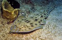 Grayspotted guitarfish, Rhinobatos leucospilus, Tofo, Mozambique, Indian Ocean
