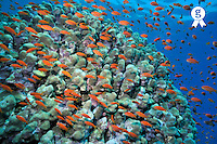 Anthias fish and coral reef, Red Sea, Egypt (Licence this image exclusively with Getty: http://www.gettyimages.com/detail/81867374 )
