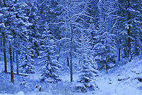Snow laden trees in the Kootania National Forest in Montana