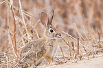 La Jolla, California; a young brush rabbit standing at attention before moving forward