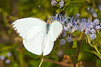 398500001 a wild female florida white butterfly appias drusilla at  the naba site in mission hidalgo county lower rio grande valley texas united states