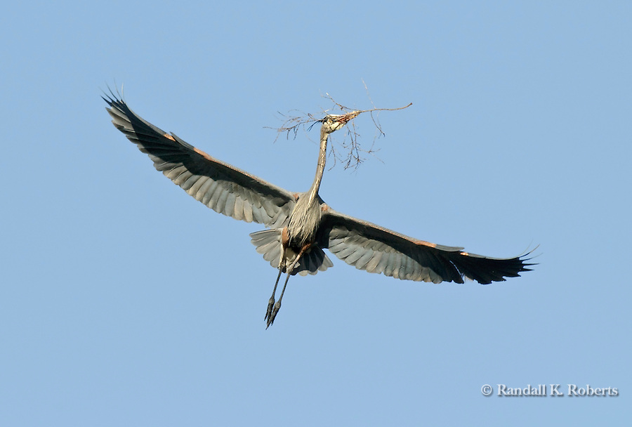 Great Blue Heron (Ardea herodias) delivers nesting material to its mate. Colorado