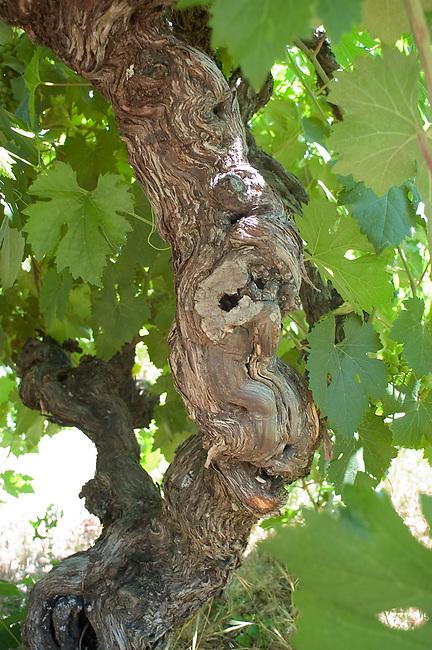 100-year-old zinfandel vine near Plymouth, CA