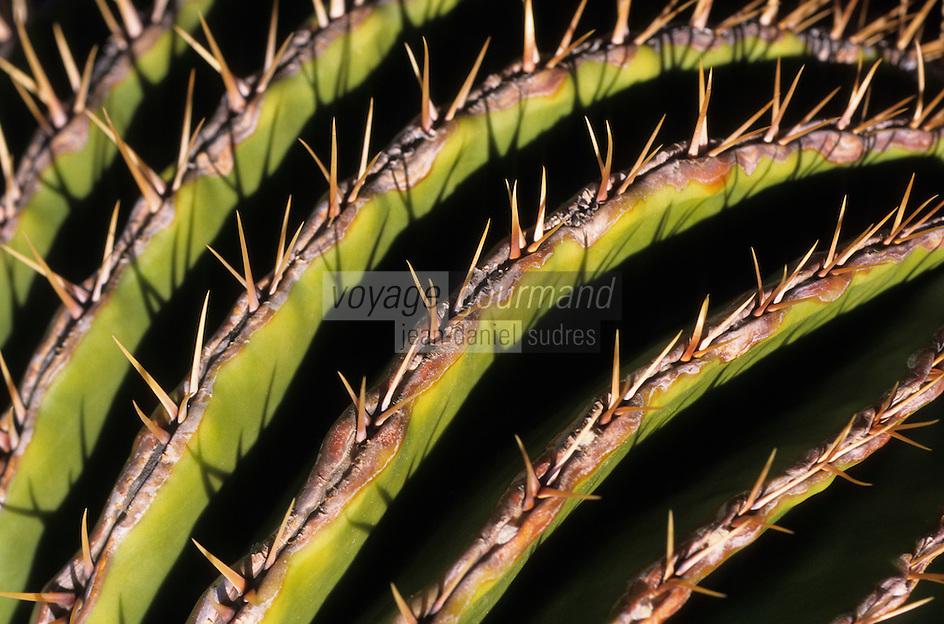 Europe/Espagne/Canaries/Lanzarote/Guatiza : Le jardin de cactus conçu par Cesar Manrique - Echinocactus visnaga