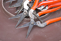 Cutting secateurs. Chateau Nairac, Barsac, Sauternes, Bordeaux, France