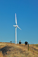 Cattle and wind turbines on Columbia Hills in Washington