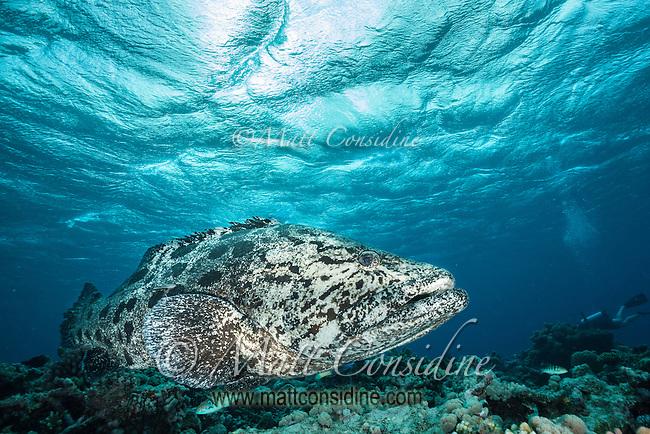 Potato Cod under luminous blue sky. (Photo by Underwater Photographer Matt Considine)