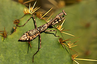 362430005 a wild carolina mantid stagnomantis carolina perches on an opuntia succulent pad in southeast regional park austin travis county texas united states