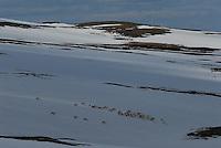 Villreinflokk,vår,wild reindeer,spring