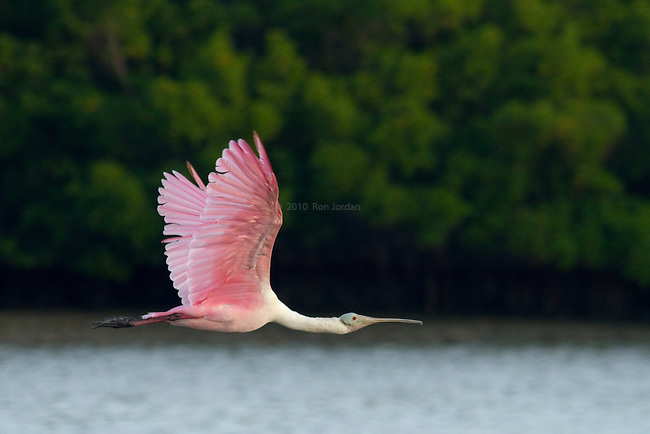 A Roseate Spoonbill frozen in flight
