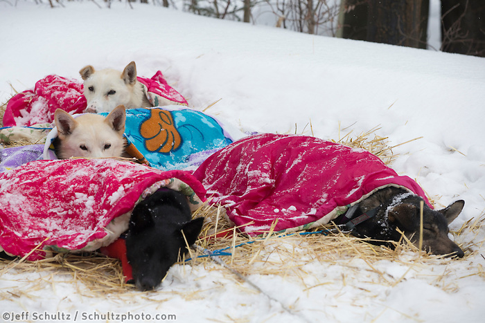 Jessie Royer dogs sleep under their coats at the Takotna checkpoint on Wednesday March 6, 2013...Iditarod Sled Dog Race 2013..Photo by Jeff Schultz copyright 2013 DO NOT REPRODUCE WITHOUT PERMISSION